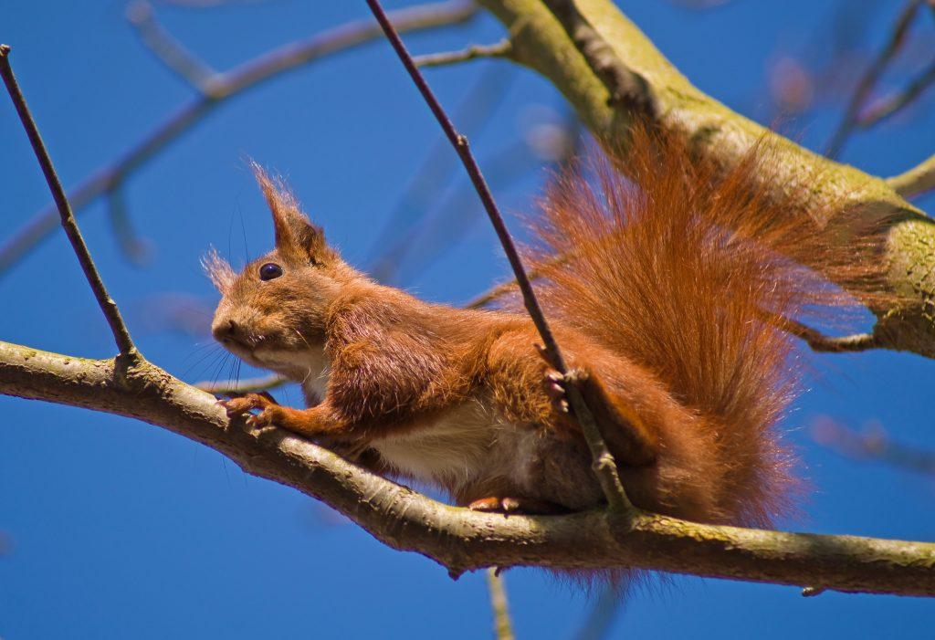 Eichhörnchen; Foto: © Ebelt