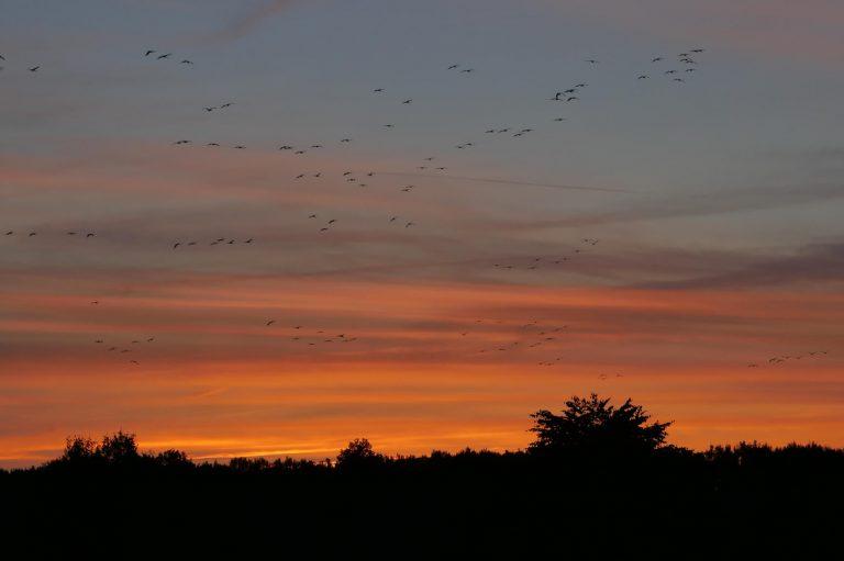 Kranichflug im Sonnenuntergang
