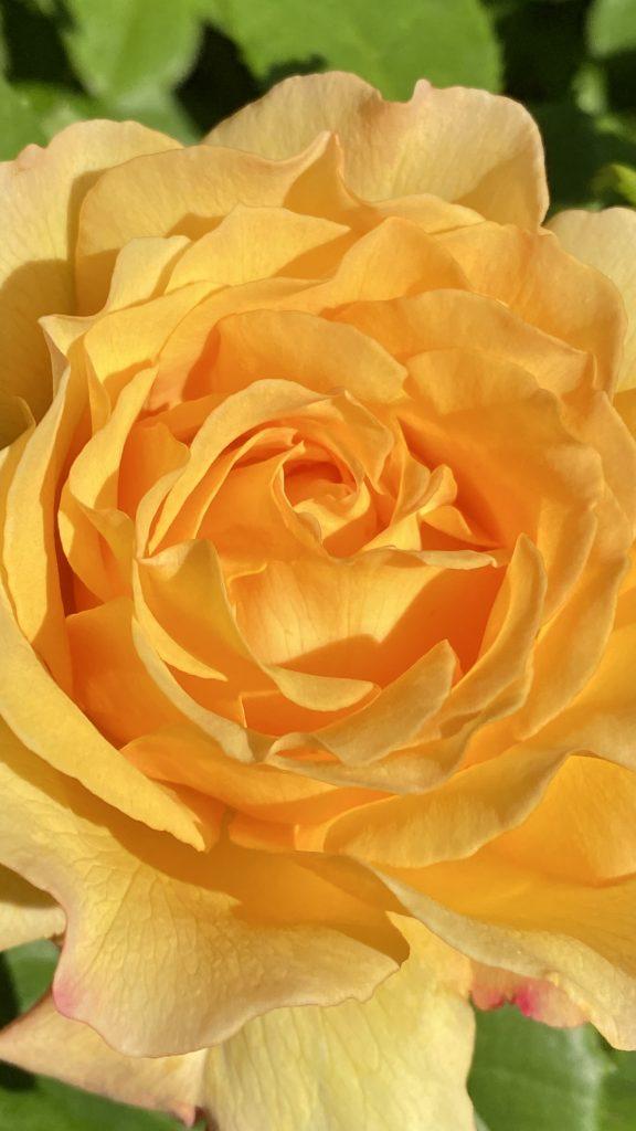 Rose im Kurpark Mölln © Jochen Buchholz
